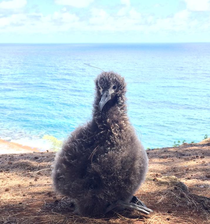 News Flash: Blossom the Albatross Chick is Adorable