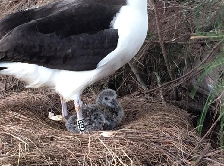 News Update! The Albatross Chicks are Hatching!