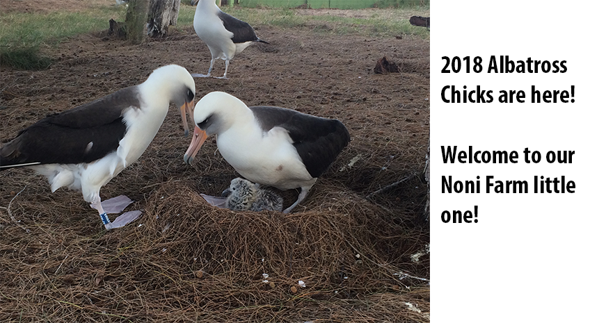 Albatross Breeding Season 2018