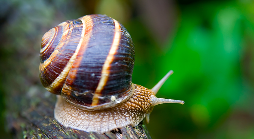 Extinction of the Hawaiian Tree Snail