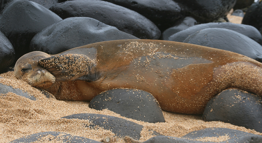 Hawaiian Wildlife: The Monk Seal