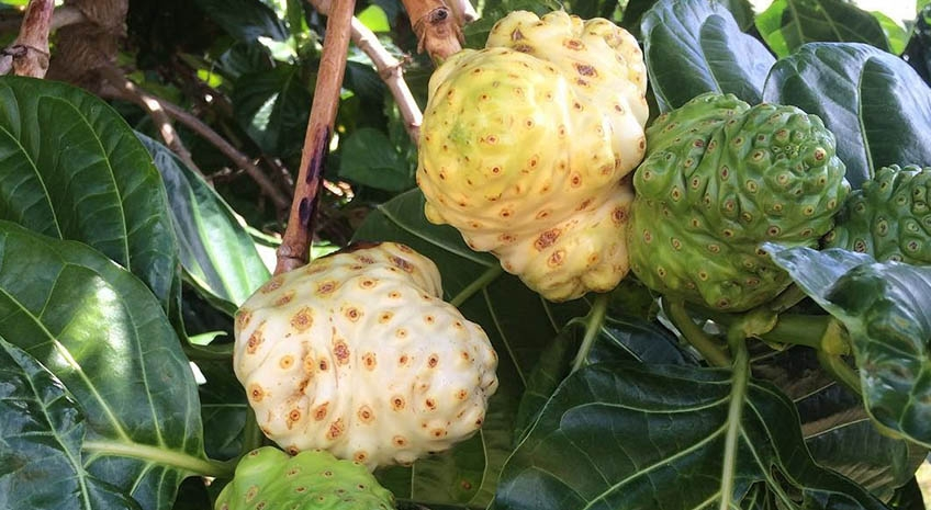 Take Advantage of the Benefits of Noni: 5 Amazing Uses