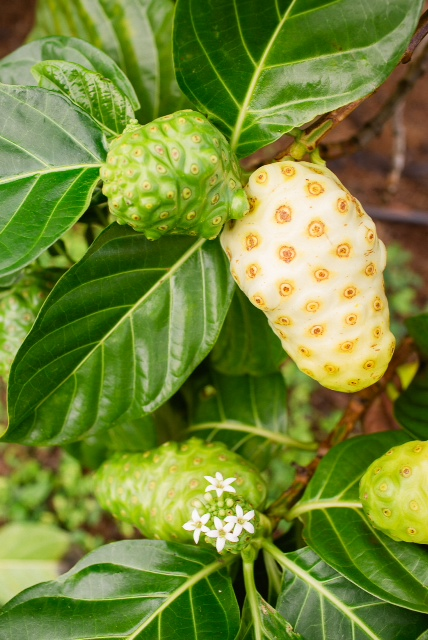noni-fruit-3