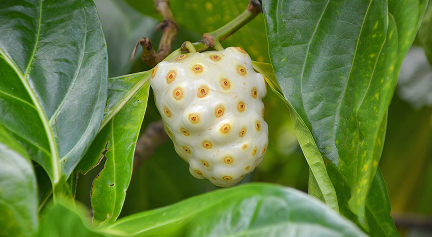 Noni Fruit: Importance of Potency