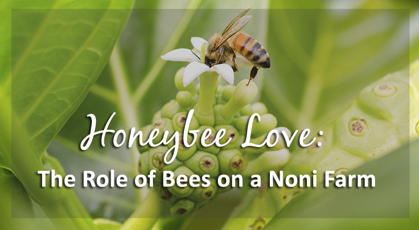 Honeybee Love: The Role of Bees on a Noni Farm