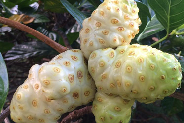 Noni Fruit Leather: Convenient, Abundant Antioxidants