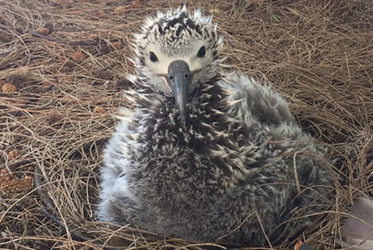 Check out the Albatross Chicks!