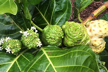 Noni: Your All-Natural Ally In the Fight Against Diabetes