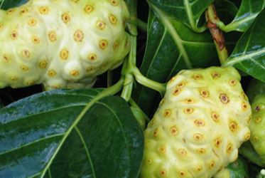 Use Noni to Get Out from Under the Thumb of Chronic Pain